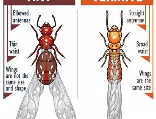 Know the difference between ants and termites