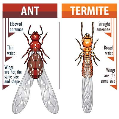 similarities between ants and termites