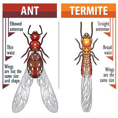 similarities between ants and termites