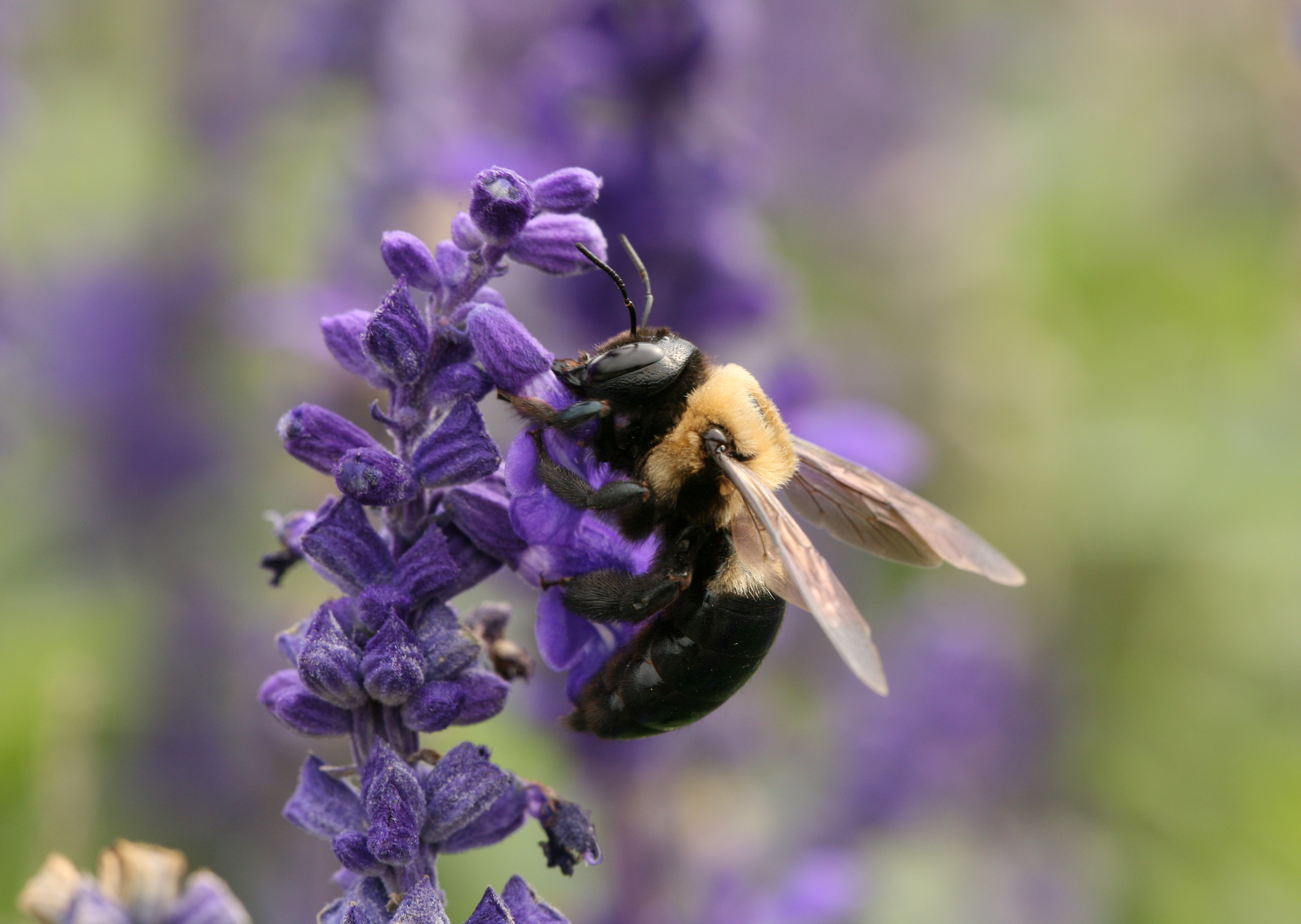 The truth about Carpenter Bees