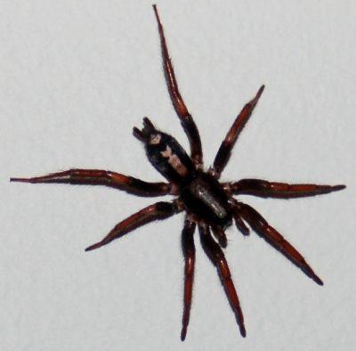 Parsons Spider