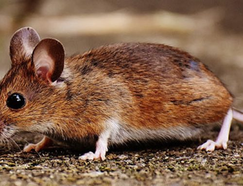 Rodents and their dangerous habit of chewing