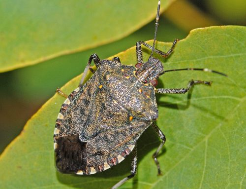 Brown Marmorated Stink Bug infestations stink!